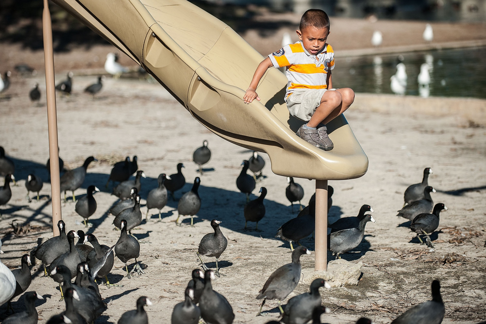 Allan Hernandez, 6, of Santa Ana contemplates his next step off the playground slide as American coots surround him at Centennial Regional Park in Santa Ana, California.