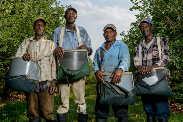 Jamaicans Neville Dawkins of Clarendon, Linford Smith of St. Catherine, Alfred Johnson of St. Mary, and Clarence Dixon of Kingston are apple pickers at Sunrise Orchards, Cornwall, Vermont.