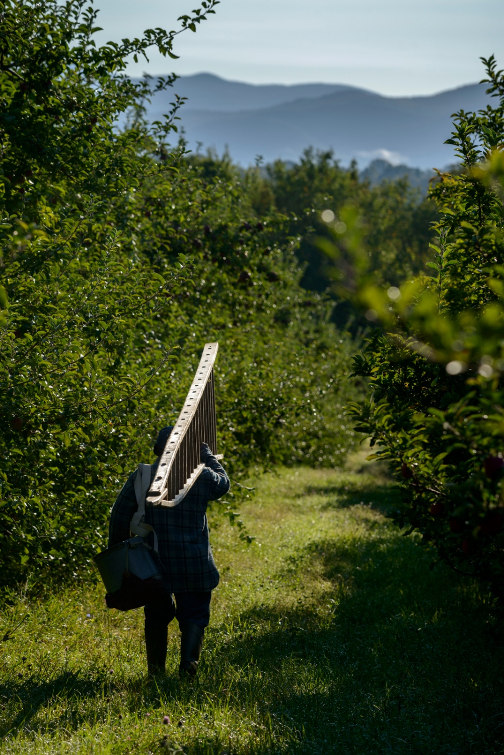 Winston Howe of Clarendon, Jamaica carries an apple ladder to pick apples at Sunrise Orchards, Cornwall, Vermont.
