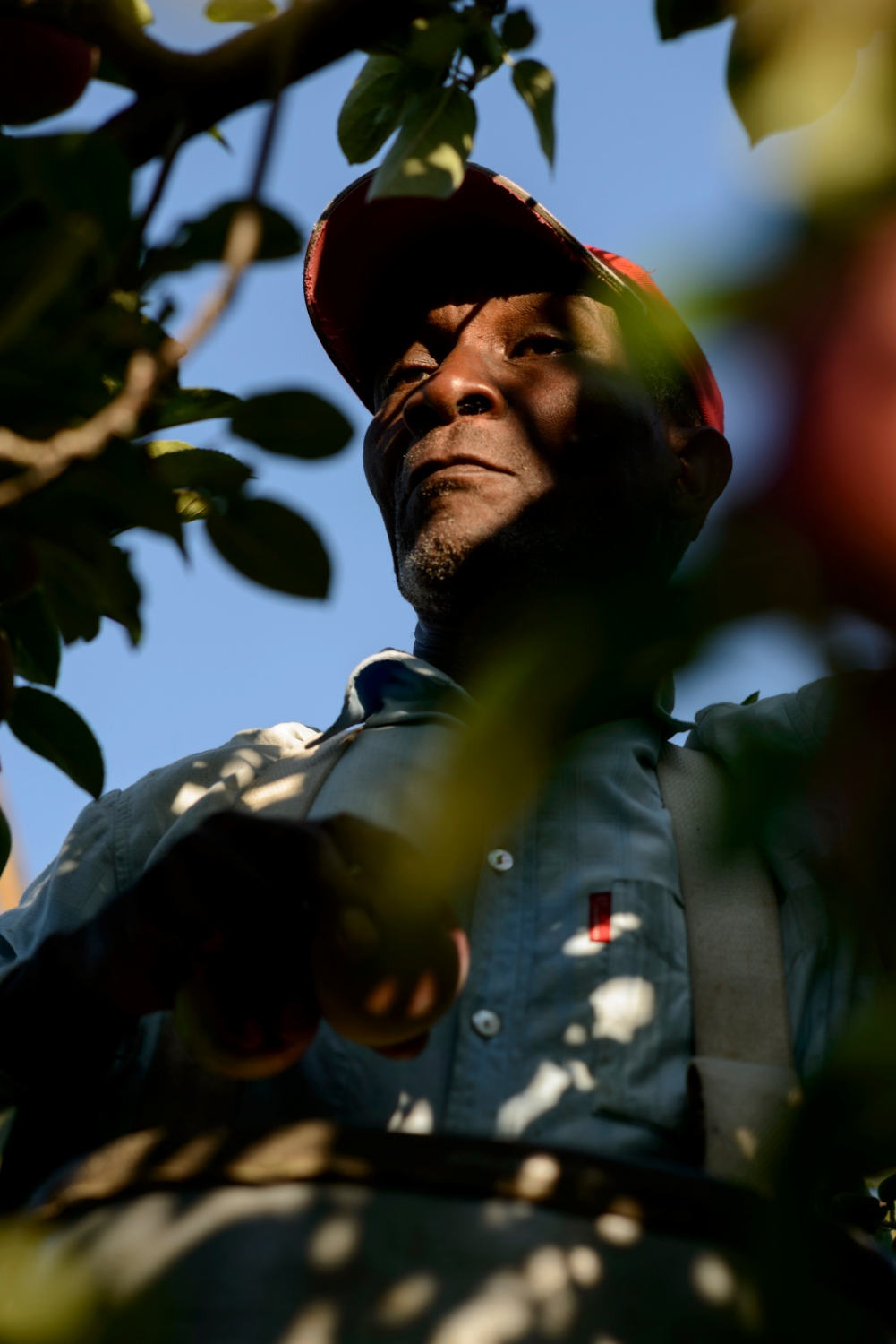 Solomon Carty of Clarendon, Jamaica is an apple picker at Sunrise Orchards, Cornwall, Vermont.