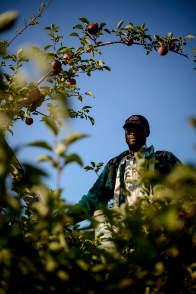 Mark WIlliams of Chilani, Jamaica is an apple picker at Sunrise Orchards, Cornwall, Vermont.