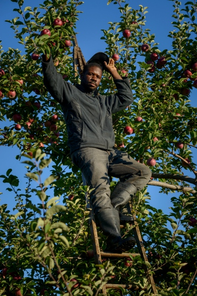 Kenroy Corrodus of St. Elizabeth, Jamaica is an Apple Picker at Sunrise Orchards, Cornwall, Vermont.