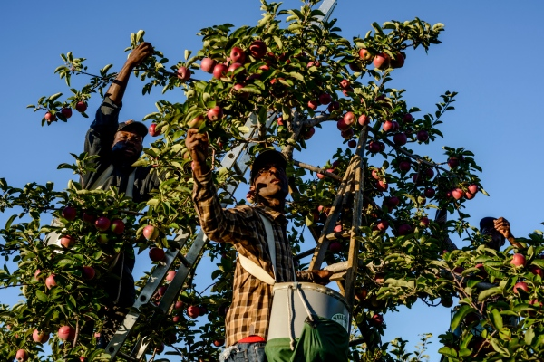 Jamaicans Kenroy Corrodus of St. Elizabeth, Jerome Johnson of St. Mary, and Rodger Moore or St. Thomas, Jamaica are Apple Pickers at Sunrise Orchards, Cornwall, Vermont.