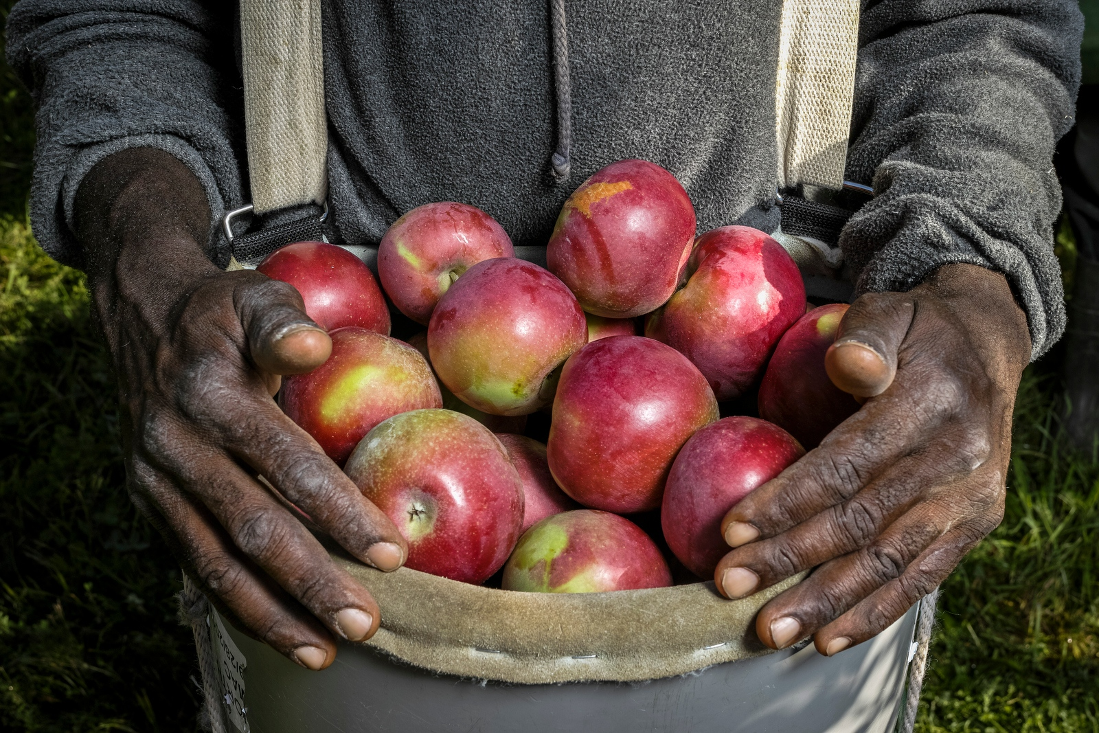 Hands of a Jamaican apple picker with a basket full of apples. Sunrise Orchards, Cornwall, Vermont.