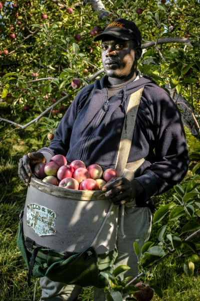 Christopher Morrison of St. Catherine, Jamaica is an apple picker at Sunrise Orchards, Cornwall, Vermont.