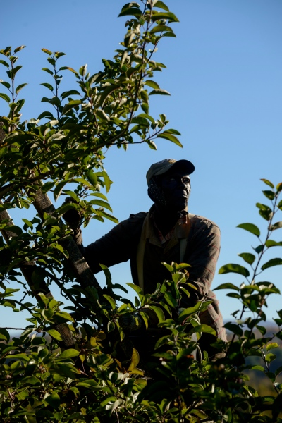 Alton Brice of Orange Bay Jamaica is an apple picker at Sunrise Orchards, Cornwall, Vermont.
