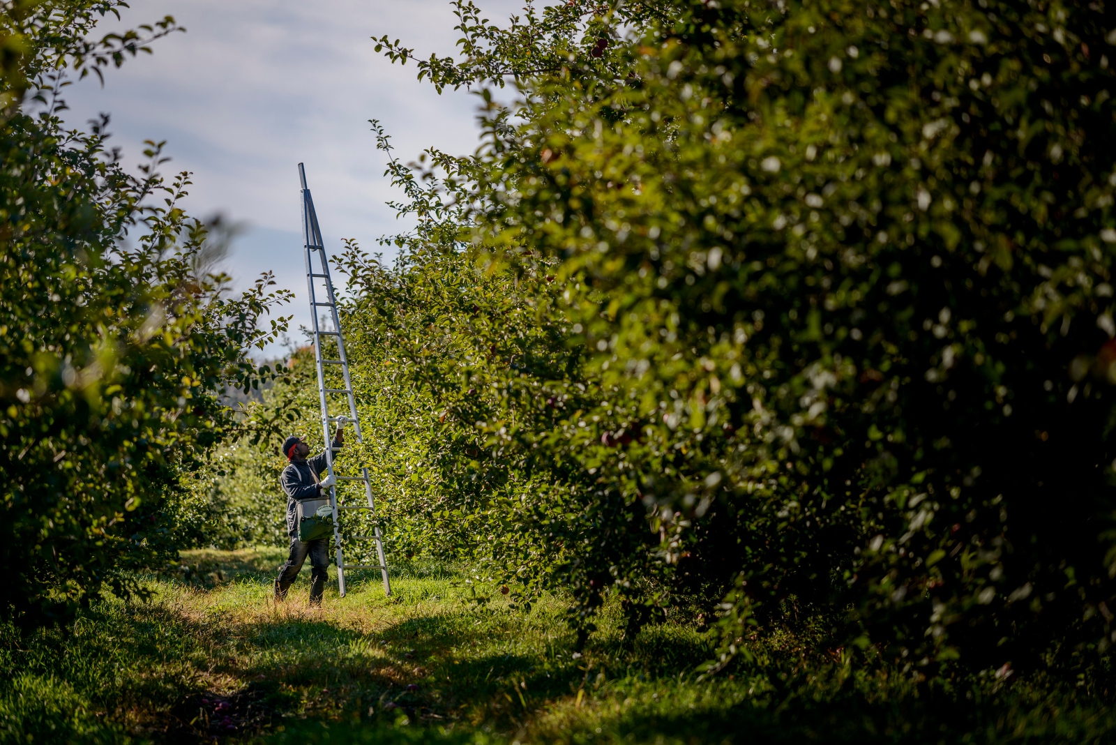 A Jamaican apple picker sets an apple ladder to pick apples at Sunrise Orchards, Cornwall, Vermont.