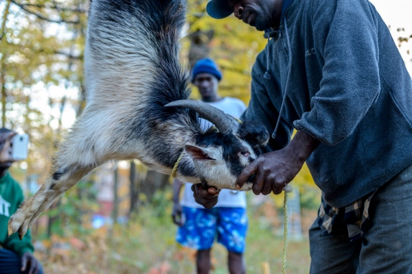 Donovan Bailey prepares to slaughter a trio of goats to cook for their end of season feast at Sunrise Orchards, Cornwall, Vermont. The entire goat was used to make chops and a stew.
