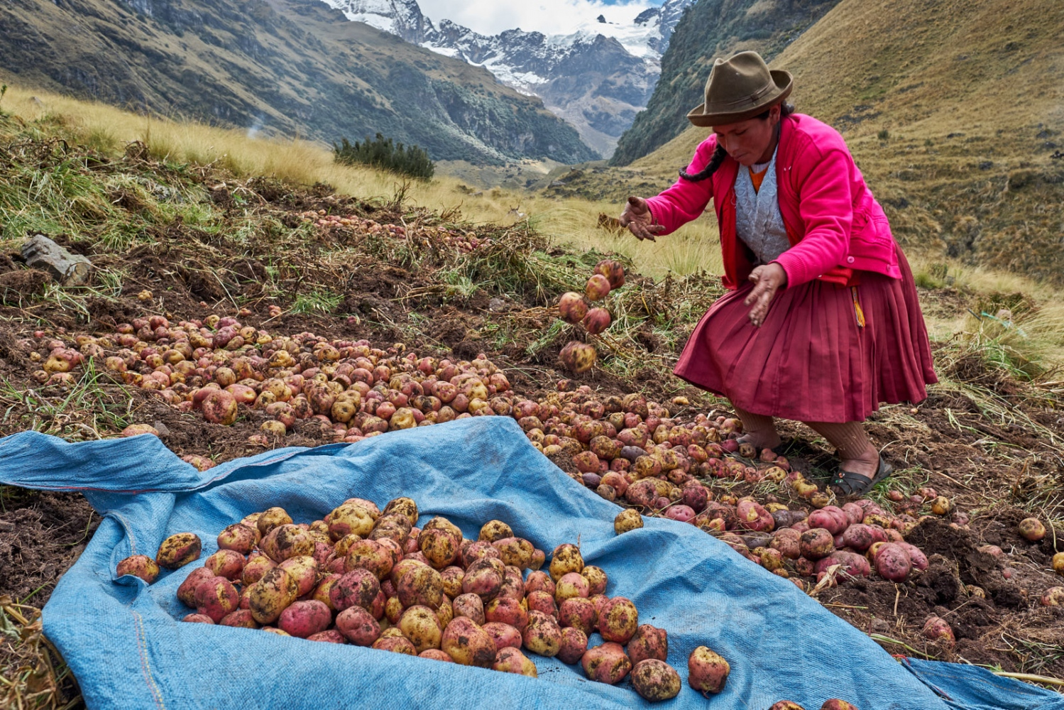 A woman gathers harvested potatoes in the remote mountain community of Huamanachocque in the Urubamba Mountains, Peru.