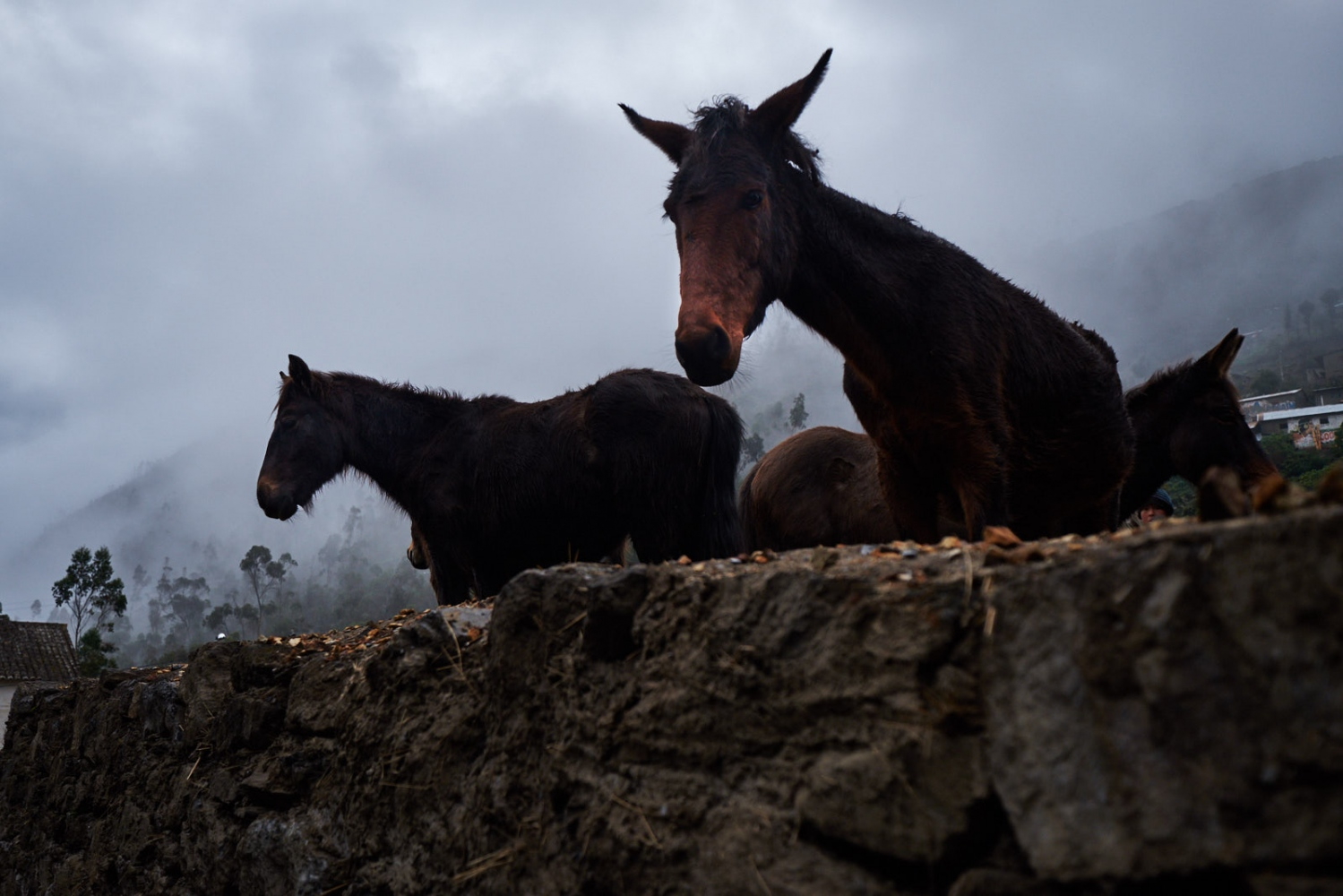 Mules, Chocquecancha, Peru.