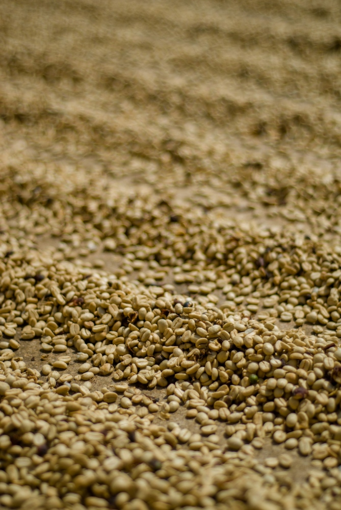 Coffee beans dry in the sun at Victor Garcias' farm, part of the Huatusco Coffee Co-op, Veracruz, Mexico.