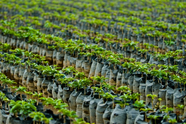 Coffee plant nursery, Finca Dos Marias, San Marcos, Guatemala.