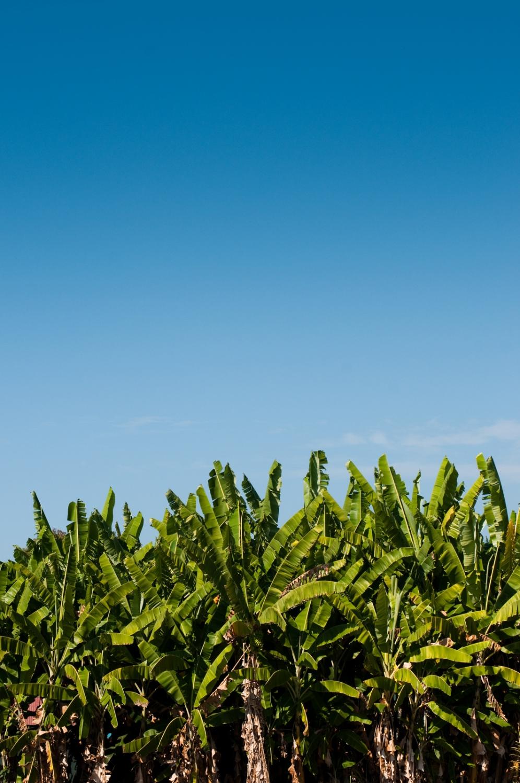 Banana trees on the Big Island of Hawaii, Kona district.