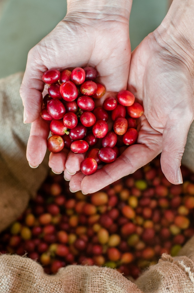 Coffee cherries, Greenwell Farms, Kona, Hawaii.