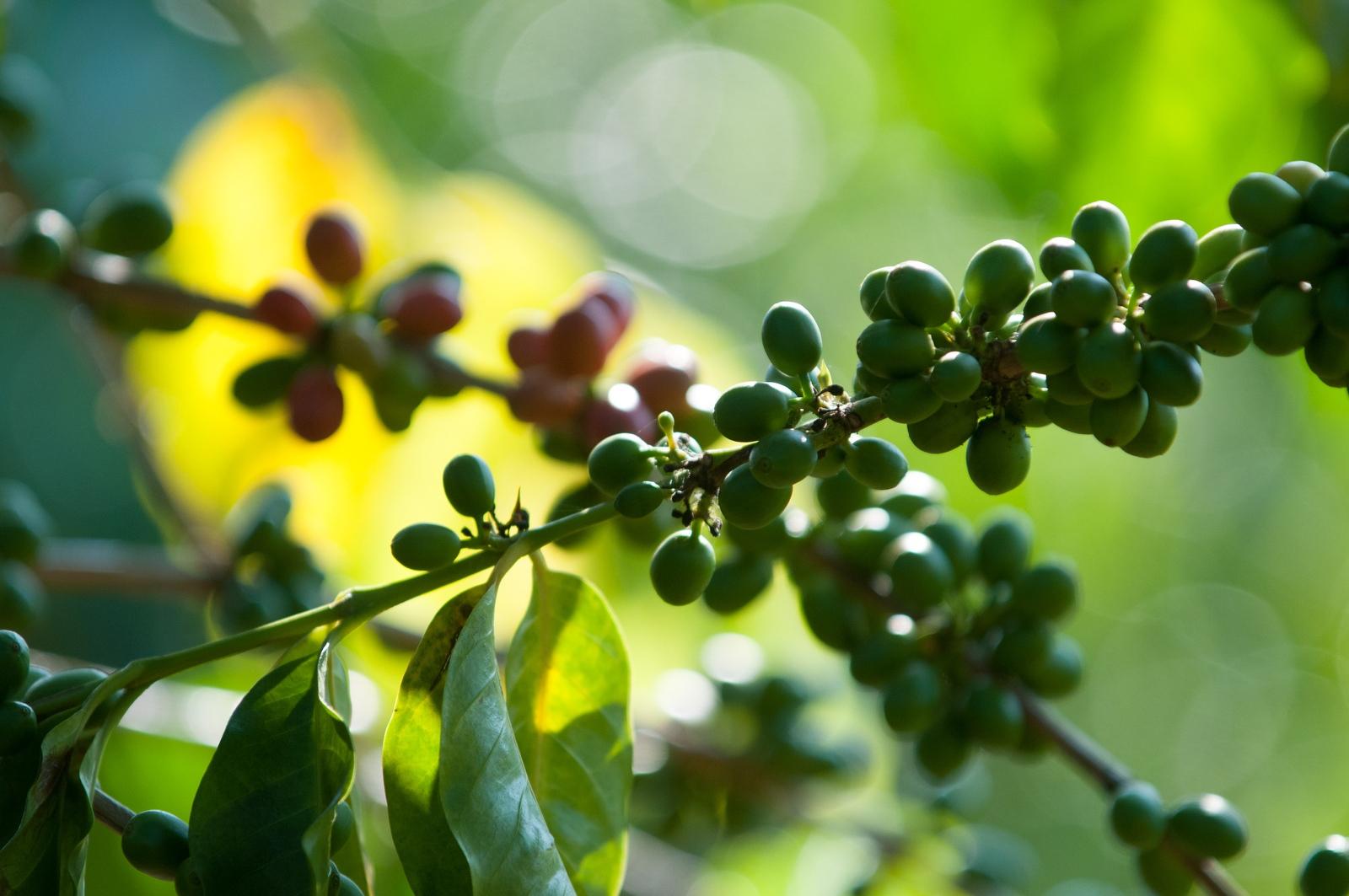 Coffee cherries on coffee trees, Greenwell Farms, Kona, Hawaii.