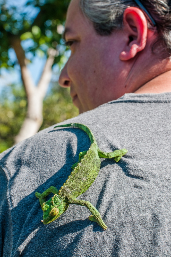 AJ Rendon of Tully's Coffee entertains a Jackson's Chameleon (Chamaeloeo jacksonii), a non-native species of chameleon introduced to Hawaii in 1972 from Africa.