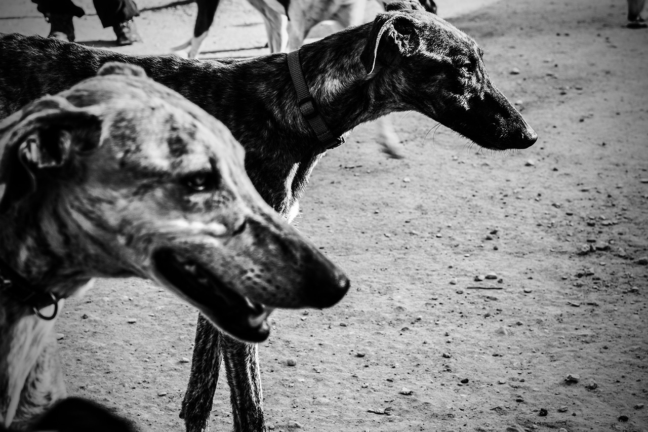 The greyhound is an animal used in the hunting of hares in open field.