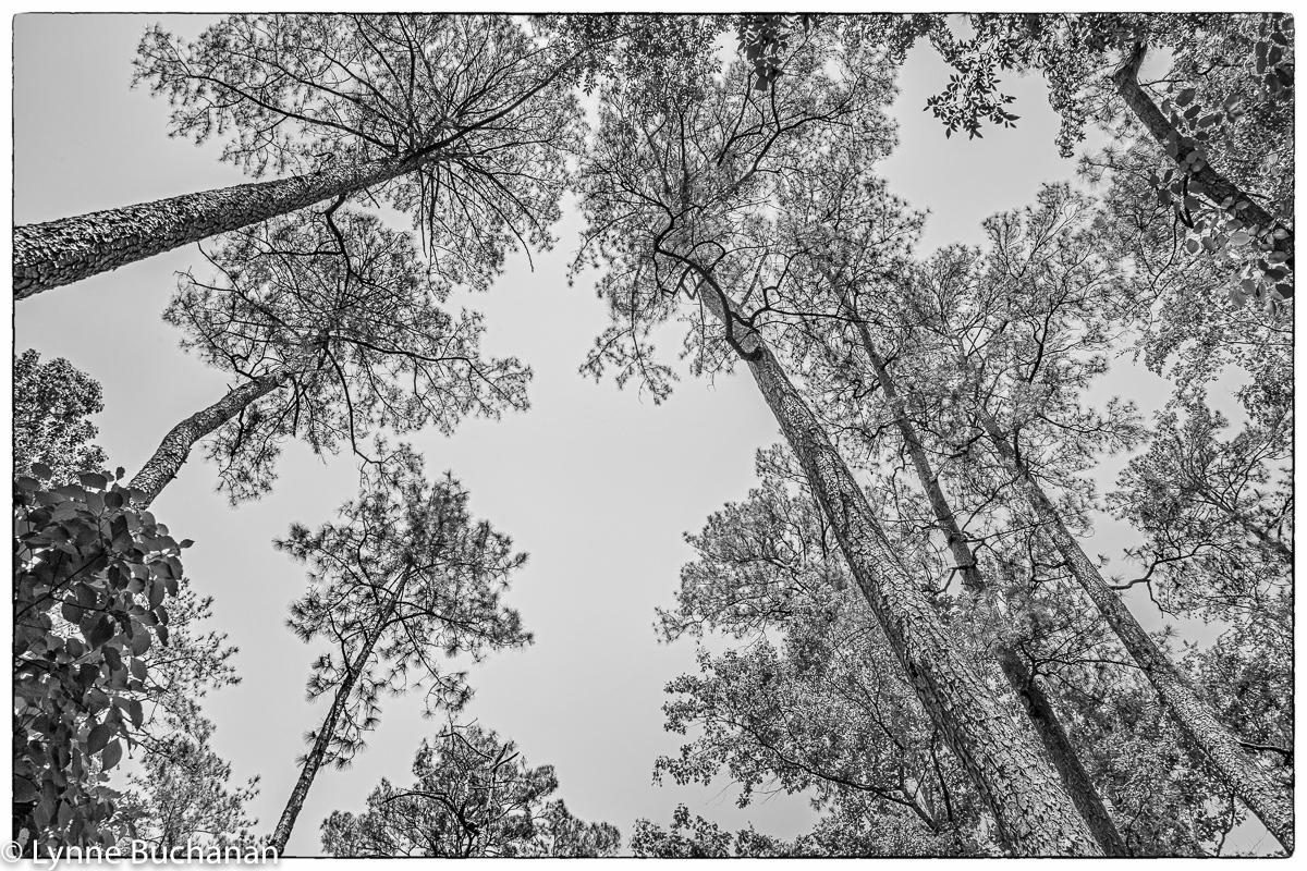 Moody Forest Old Growth Longleaf Pine Canopy,...