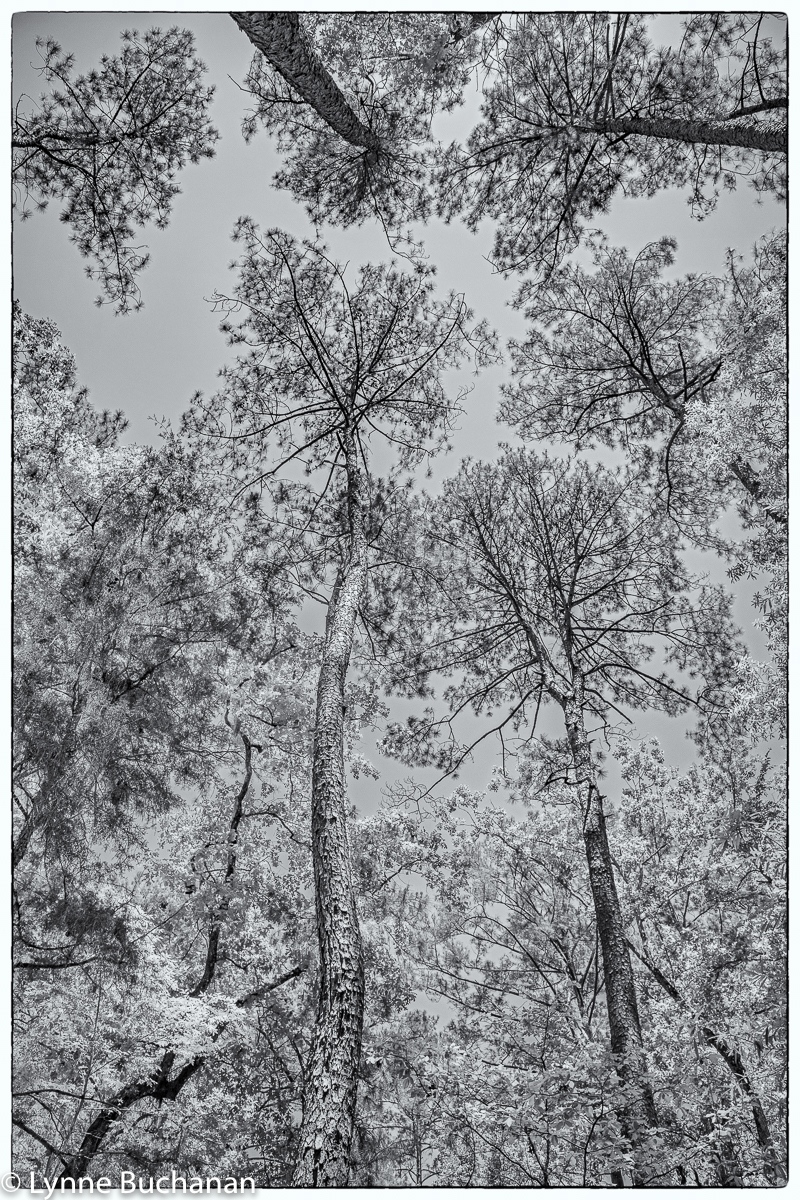 Longleaf Pine Canopy, Moody Forest, Georgia
