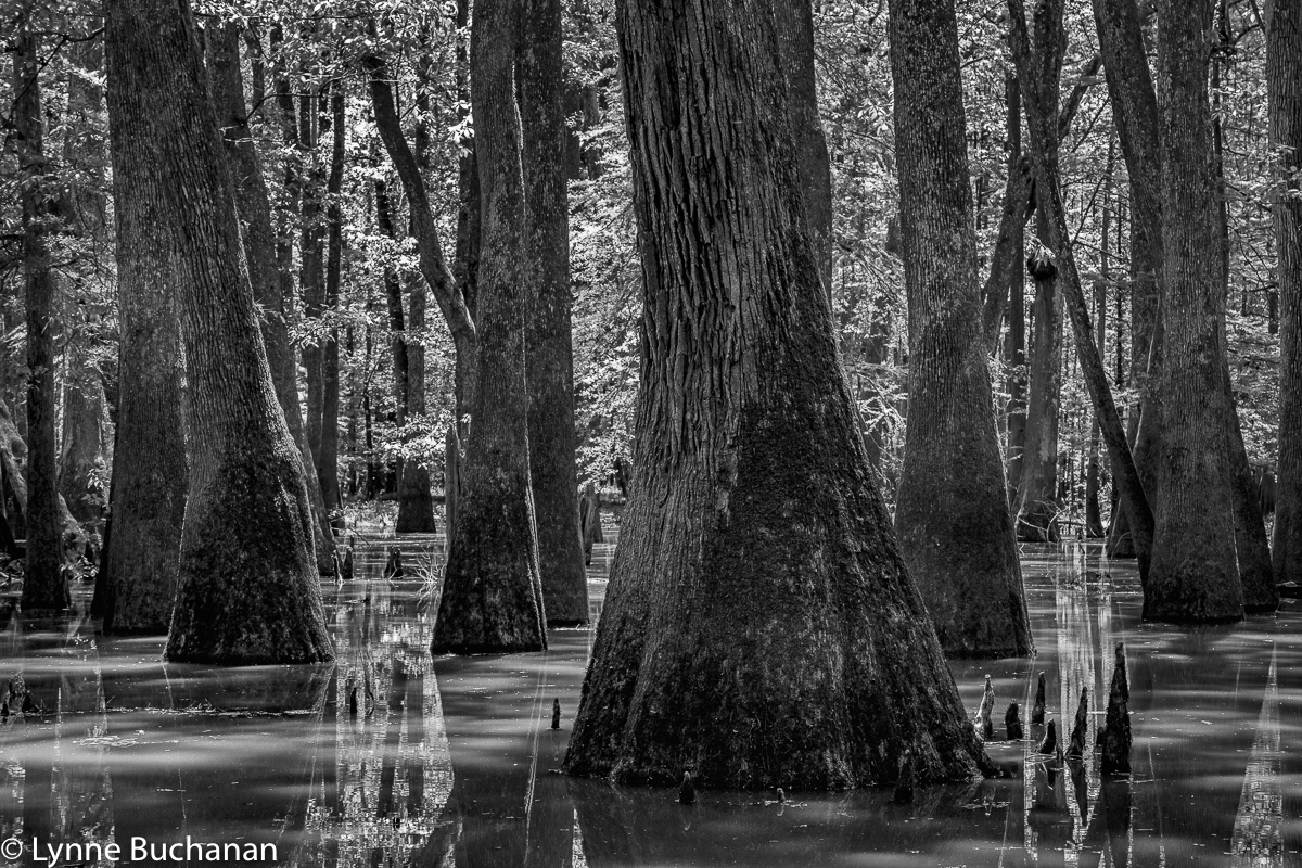 Moody Forest Tupelo Cypress Geometry, 600 Year...