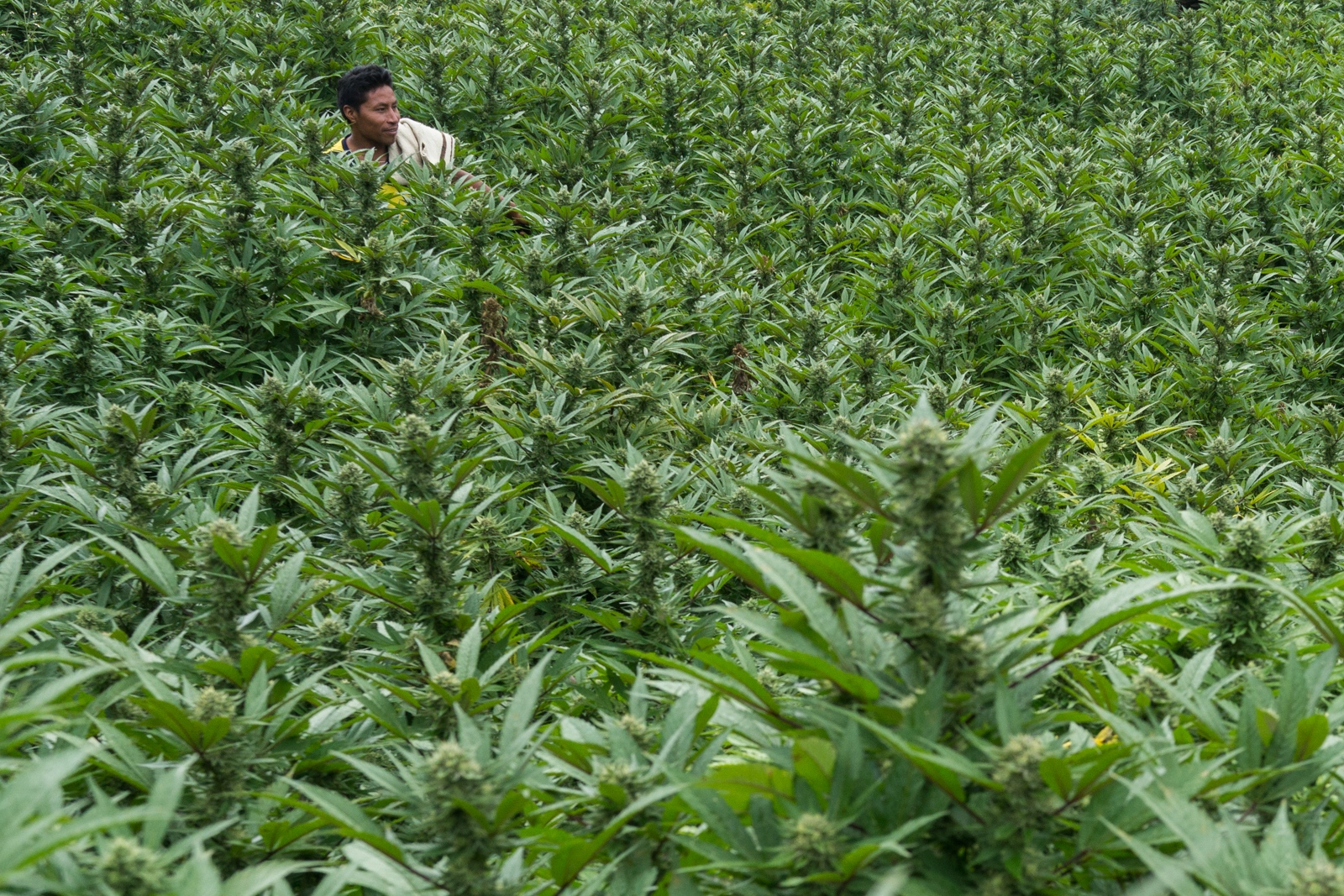 Jose Emilio walks through one of his Marijuana fields in Toribio, this plants have 3 months of growth and soon will be ready to get cut and dried.