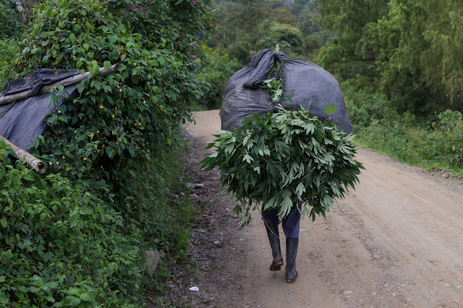 Carlos, 13, carries several marijuana plants on his back and starts walking towards neighbours house, his neighbour is lending him his oven and will charge him a small commission for the usage.