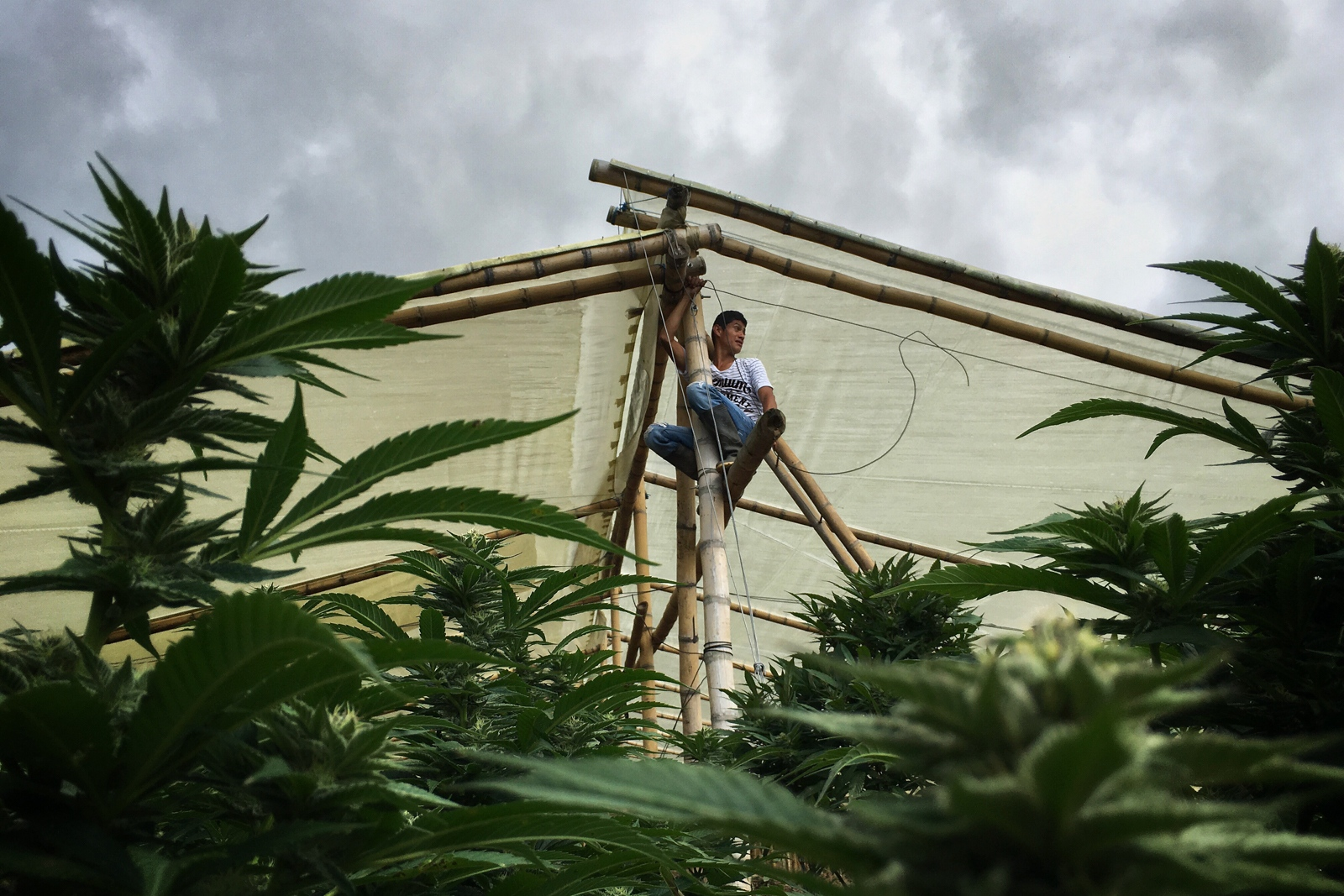 Robeiro climbs to the top of his greenhouse with electric cables that will power light bulbs to keep constant light for the first 3 months of marijuana growth.