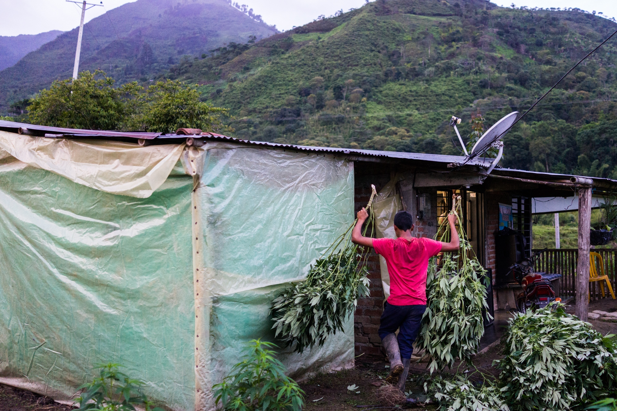 Carlos, 13 years old helps his brother Roberio carry plants to the home made oven to dry the marijuana branches.