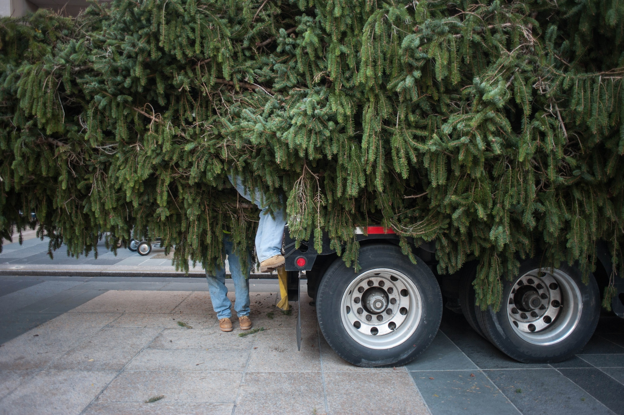 The Rockefeller Center Christmas Tree arrives on November 12th, 2016, at 7A.M. The tree is 94 ft tall and 56 ft wide, weighing at around 14 tons. As soon as the tree arrives onto Rockefeller Plaza, workers climb in to cut off the ropes.