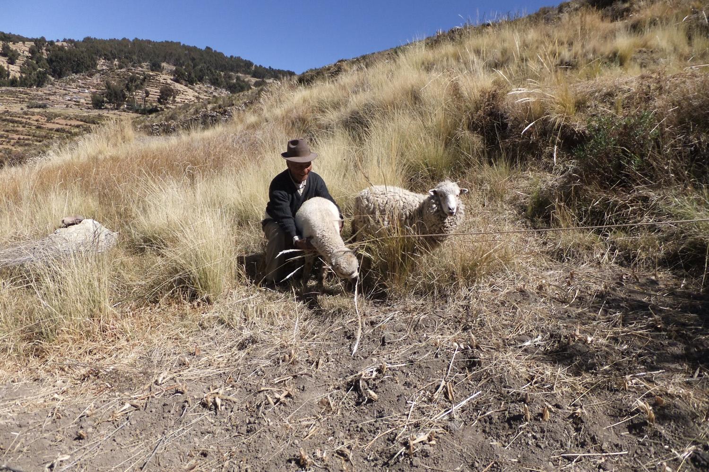 Mi suegro Julián con mis ovejitas, está amarrándolas porque querían escaparse.