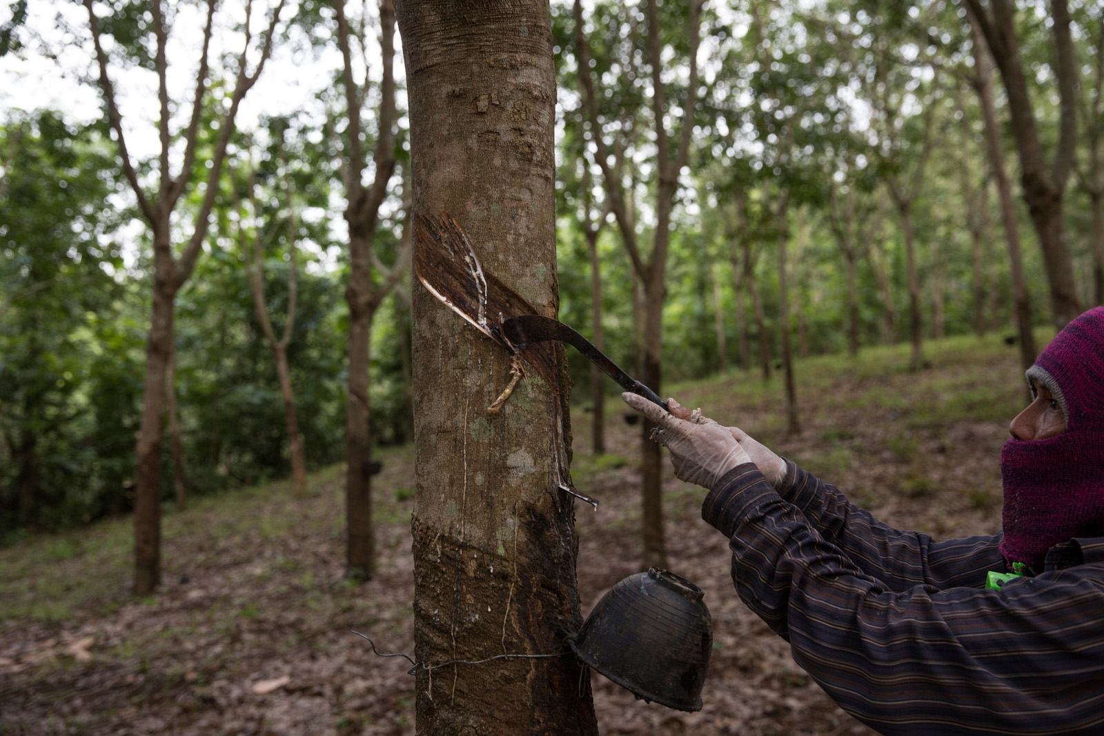 Por Mai, a founding member of the Khon Rak Ban Kerd (People who love their homeland) community conservation group collects rubber from his small planation at the village of Na Nong Bong.
