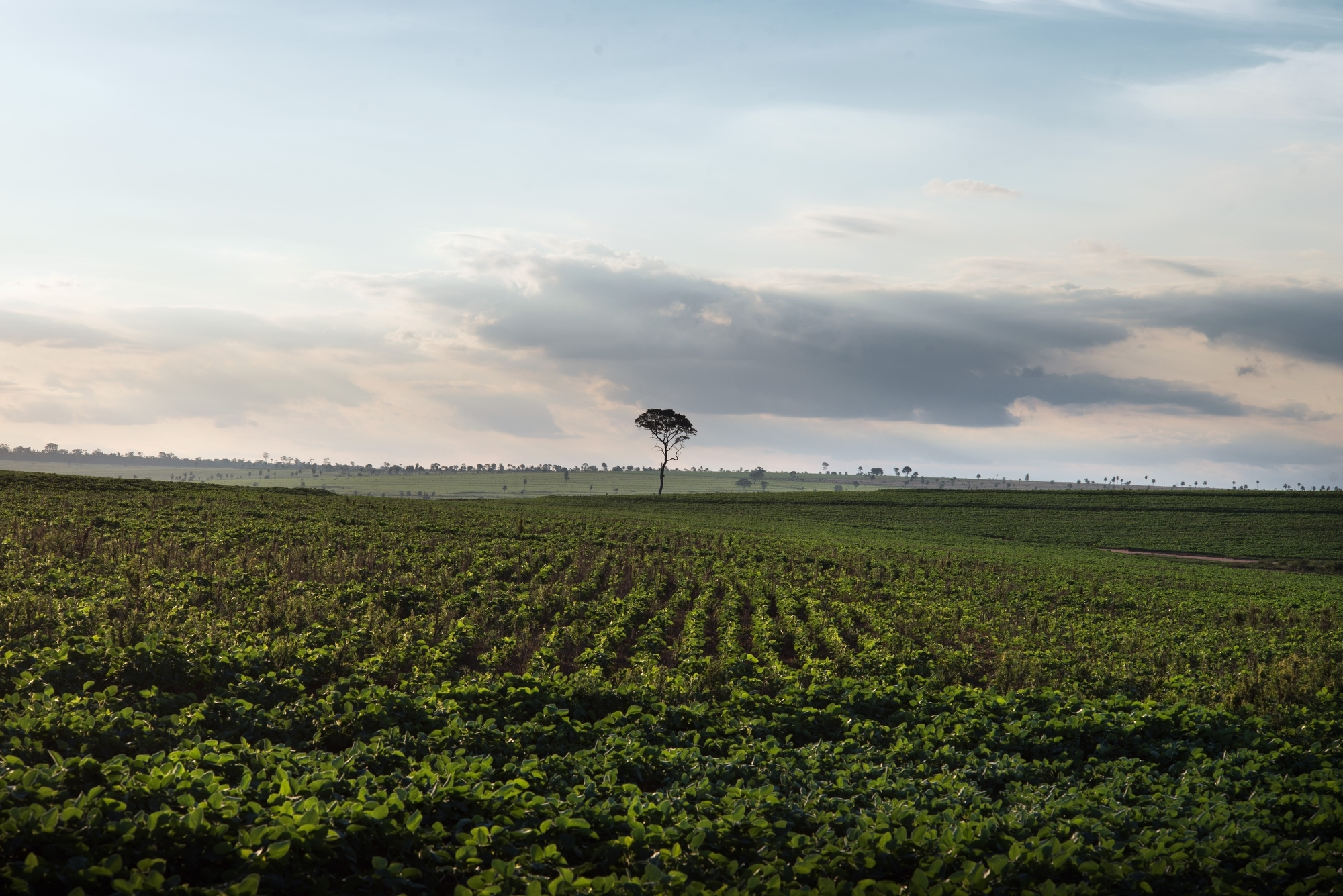 A Soya field next to the Guarani-Kaiawa village of Sassoro where 10 people committed suicide last year.