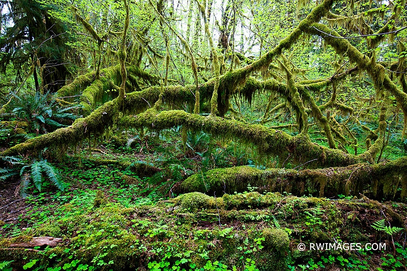 LATEST WORK: HOH RAINFOREST OLYMPIC NATIONAL...