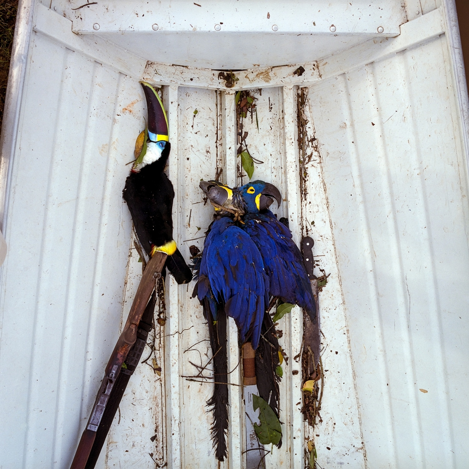 2016. Birds killed for their decorative feathers and meat by the Arawéte tribe on the Xingu River upstream from the Belo Monte Dam. The Arawéte are a hunter-gatherer tribe numbering around 400 people. Sustained contact was established in the late 1970s after their land was opened up by the construction of the TransAmazon Highway, which marked the second major expansion into the Amazon after the rubber boom and resulted in the decimation of their population by a third.  The emergency plan instated by Norte Enegria, the constorium building the Belo Monte Dam, during the early stages of construction between 2011-2013 gave 30,000 reais about $10,000 per village per month. Their subsistence lifestyle was quickly corrupted by the money with easy access to processed foods which severely damaged their health and overall cultural wellbeing. Many considered the action a form of ethinocide. /Aaron Vincent Elkaim
