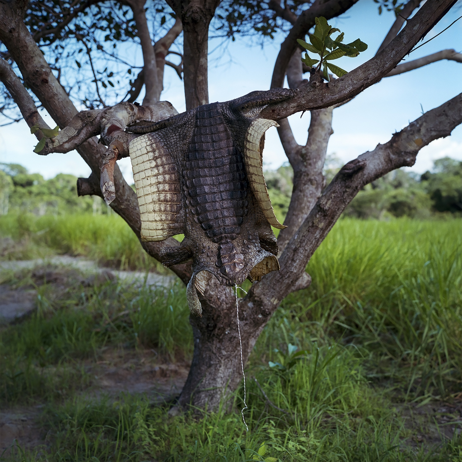 2016. An aligator skin hangs form a tree of a fisherman that has been relocated to fallow farmland on the banks of the Belo Monte Reservoir.  /Aaron Vincent Elkaim