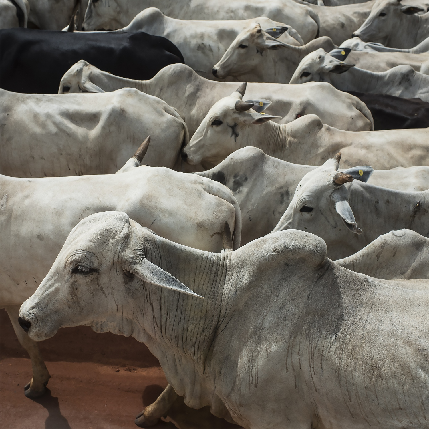 2016. Cattle are herded along the Transamazon highway in Para, Brazil. Cattle ranching is one of the major casued for deforestation in the Amazon. /Aaron Vincent Elkaim
