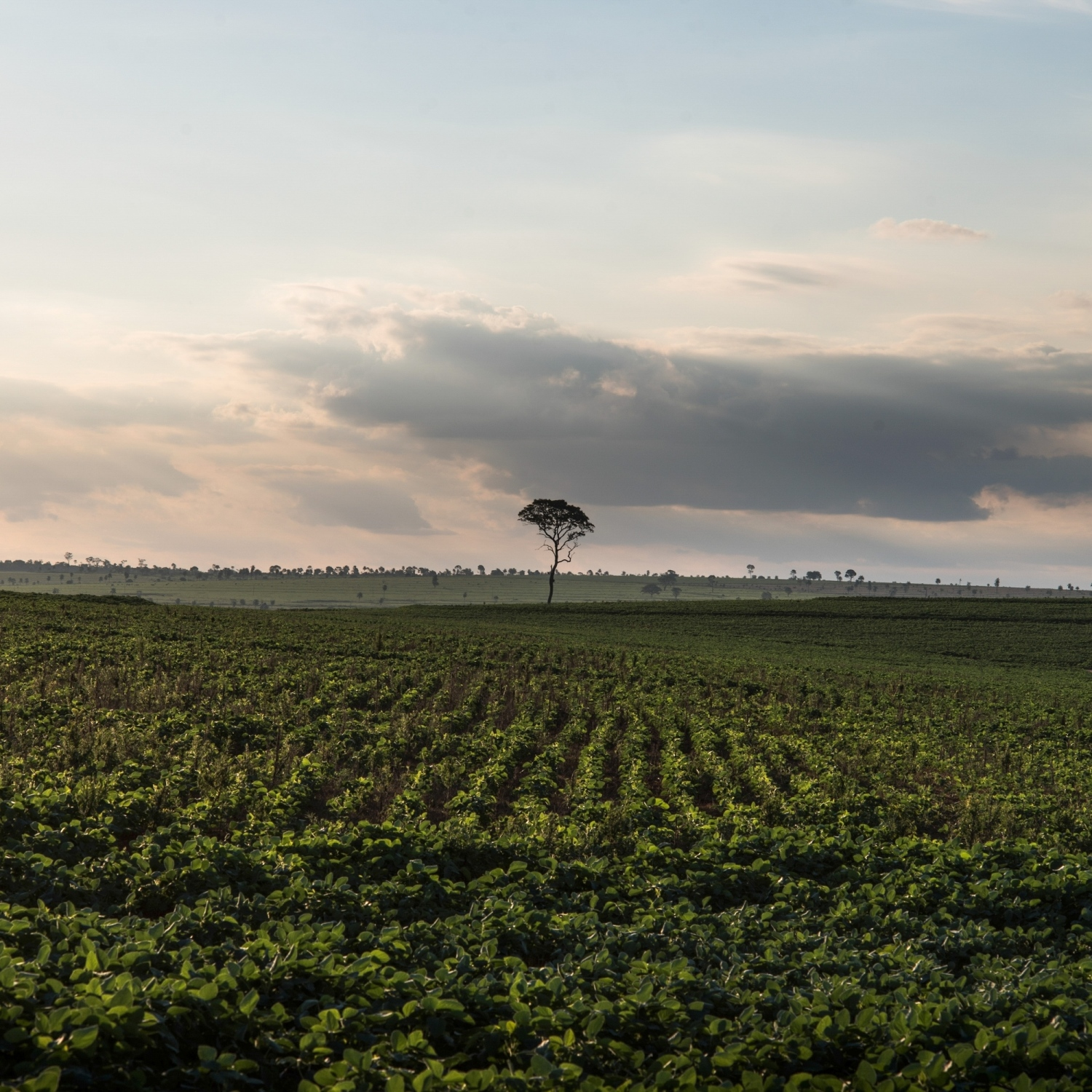 2016. Industrial soy farms have taken over most of the land that was once forested Guarani-Kaiowa territory in Matto Grosso Du Sul. Current plans to build more than 40 dams on the Tapajos River will turn that river into a transportation corridor for Soy from the South of Brazil to the North.