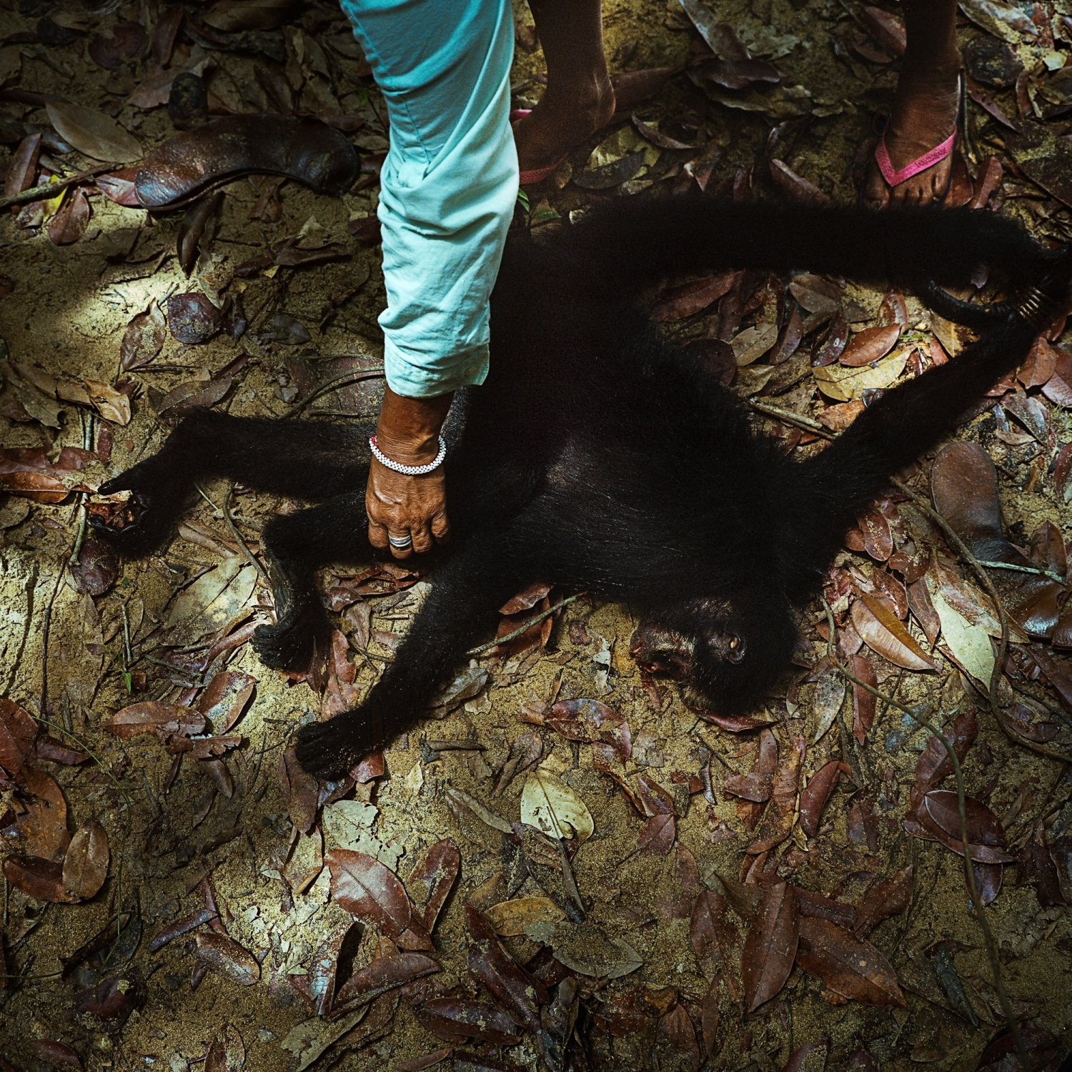 A spider monkey is hunted for food by the Munduruku indigenous people of the village of  Sawre Muybu on the Tapajos River. While the Munduruku have been in peaceful contact with the colonialists since the early 1800's they still live traditionally, surviving off the river and land.  Aaron Vincent Elkaim
