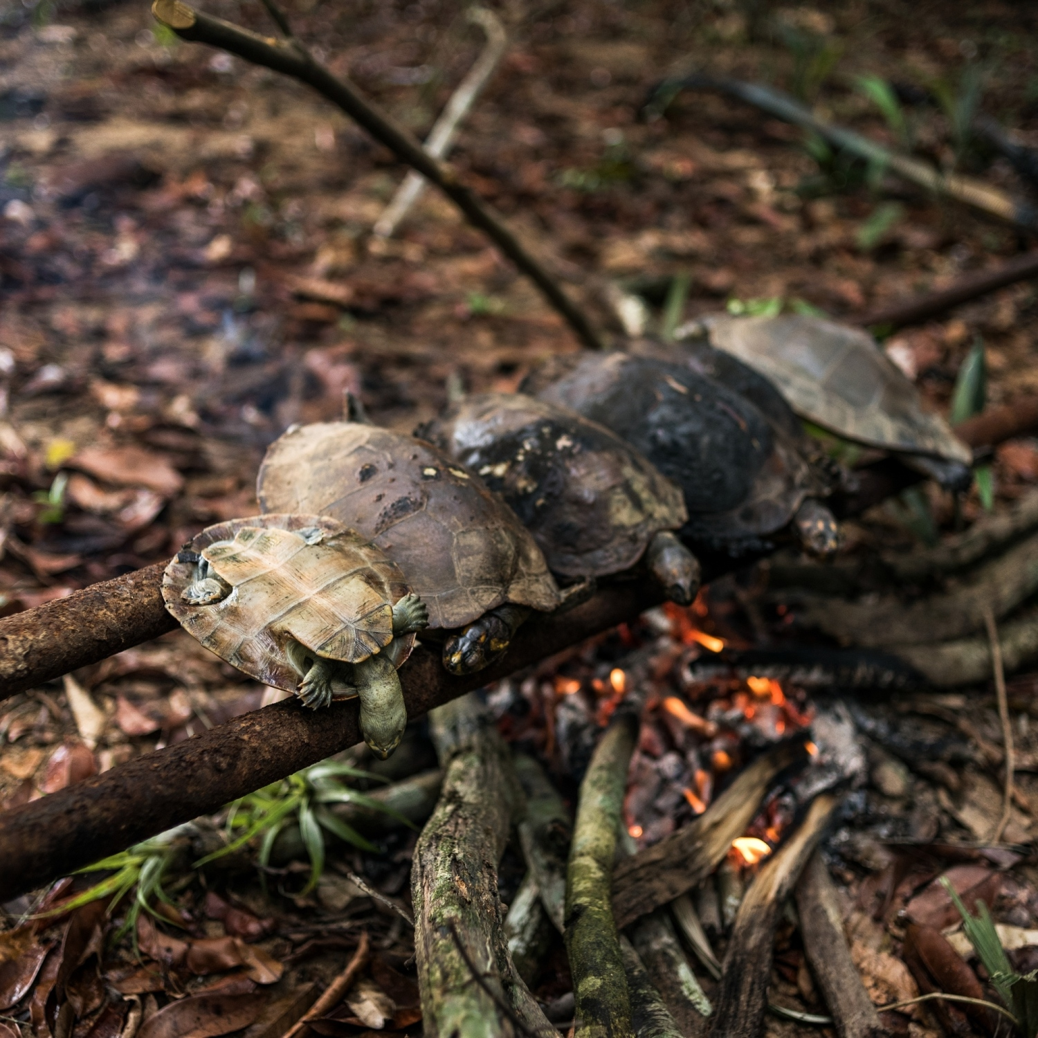 2014. Munduruku roast turtles over a fire while self-demarcating their land on the Tapajos River.   /Aaron Vincent Elkaim