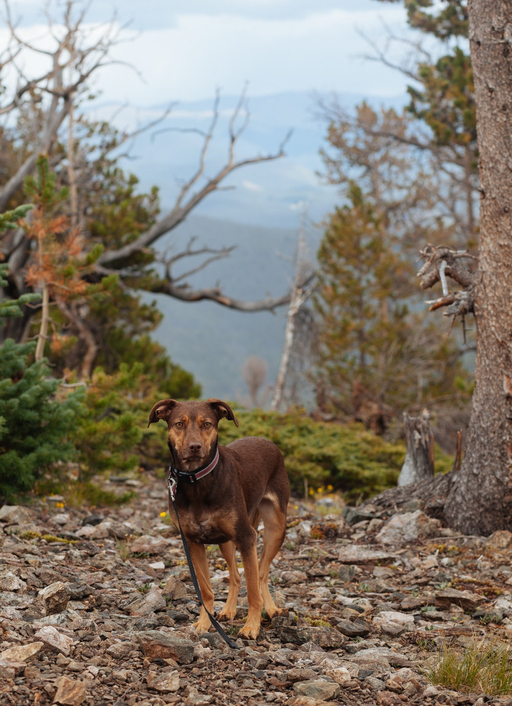 Marley at the top of Mount Royal (10,502 feet), White River National Forest, CO.
