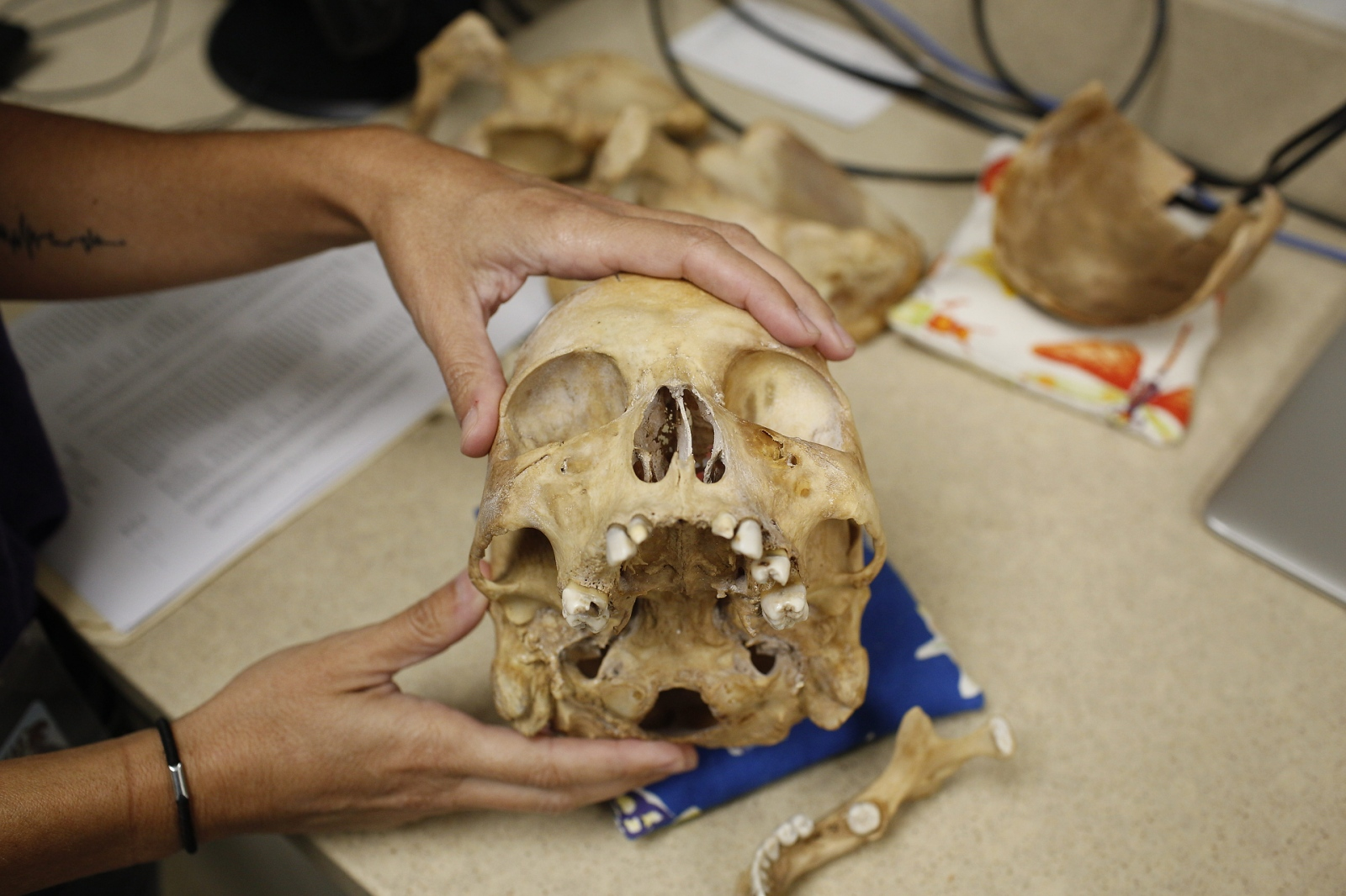 The skull of a male migrant who passed away on the trip from the border through Brooks County and was buried in an unmarked grave at Sacred Heart Cemetery. Dr. Kate Spradley and Dr, Maria J Adserias Garriga and staff and students at Texas State Forensic Anthropology Departments Operation Identification are trying to identify all remains in hopes of returning them to their families. (Kevin C Downs/Agence Cosmos)