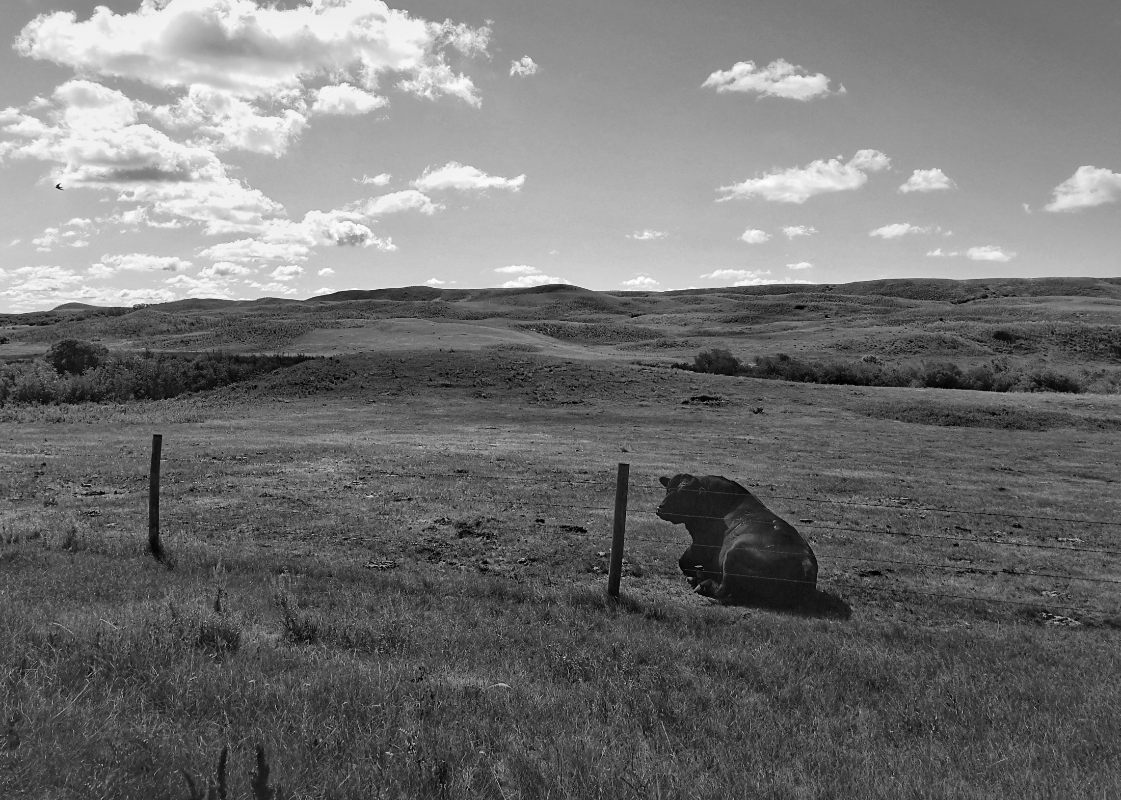 Bull and his Pasture, Saskatchewan