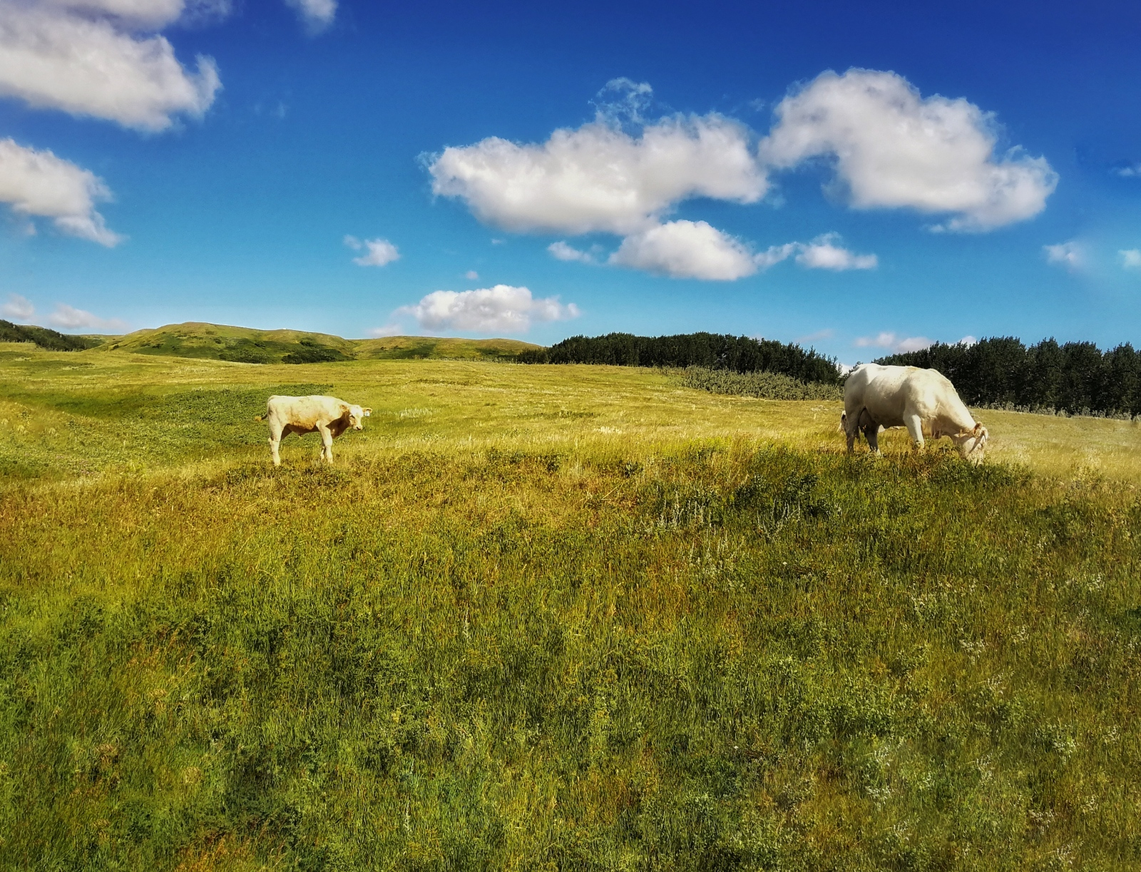 Photography image - Cow and Calf, Saskatchewan