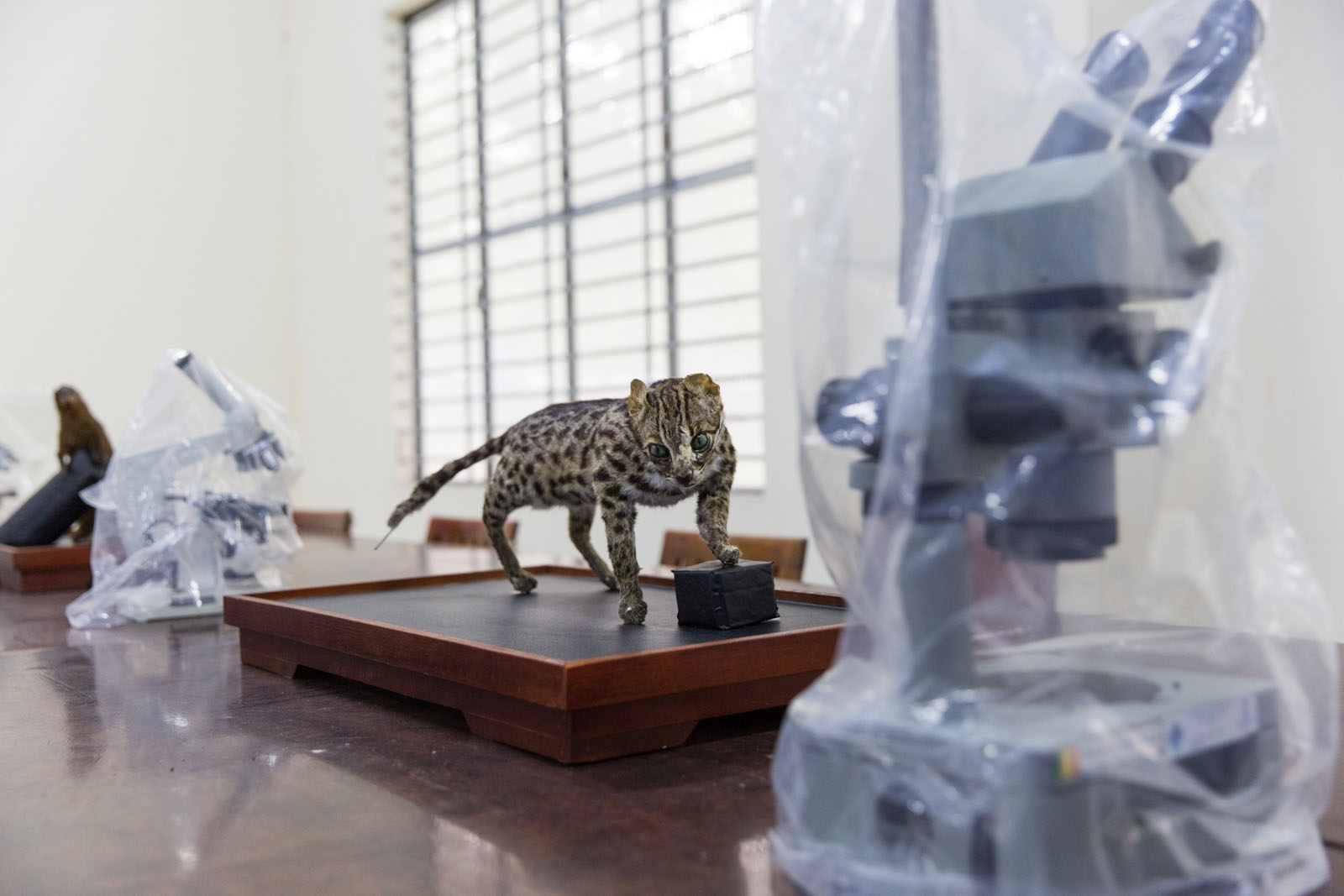 A stuffed wild cat, now critically endangered occupies a classroom at the College of Environment & Natural Resources Department of Can Tho University. This department of Can Tho University is researching and implementing projects to help protect certain species from extinction.