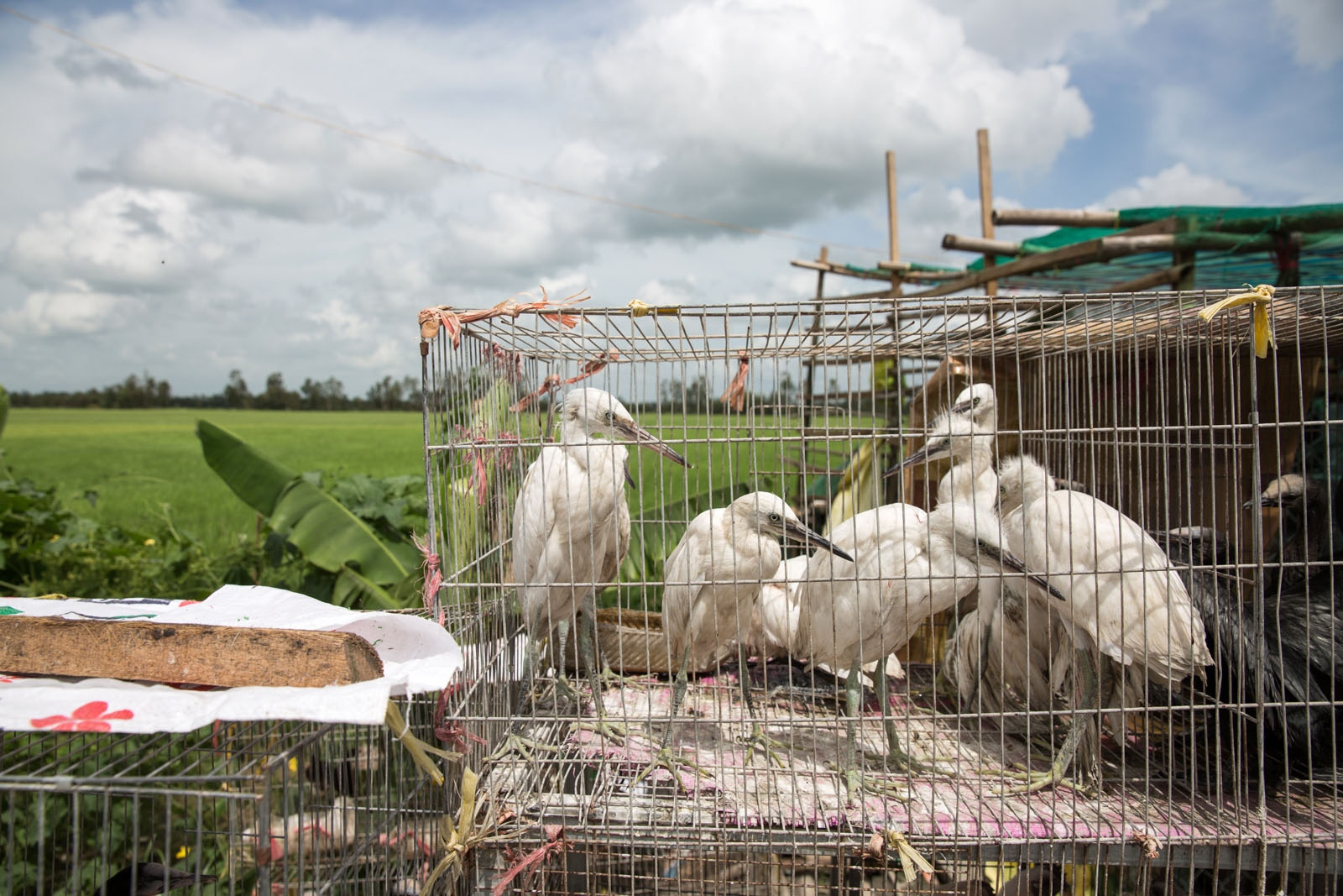 Wild egrets for sale at a roadside stall running through Ca Mau province. Such extensive farming practises in the Mekong Delta has led to a huge decline in wildlife due to habitat loss and other human activities.