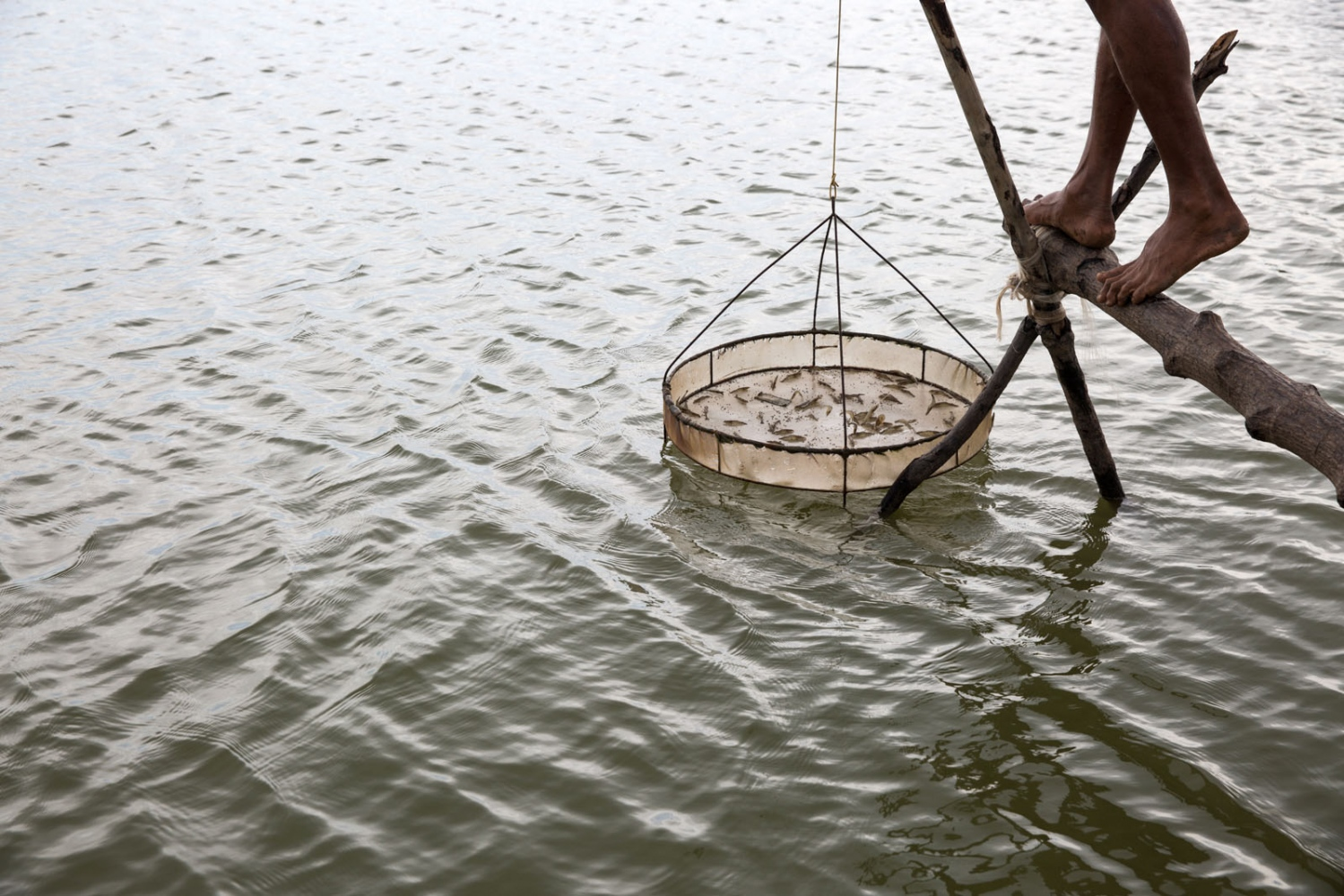 A shrimp farmer raises a net to look at the size of his shrimp on his farm in Vinh Chau district of Soc Trang province. He was previously a rice farmer but an increased salinity of his land forced him to change from rice to harvest shrimp. But shrimp farms have their own issues related to the changing temperature and salinity of the water from too much rain and the over-use of antibiotics and chemicals to increase yields that in turn pollutes surrounding waterways.