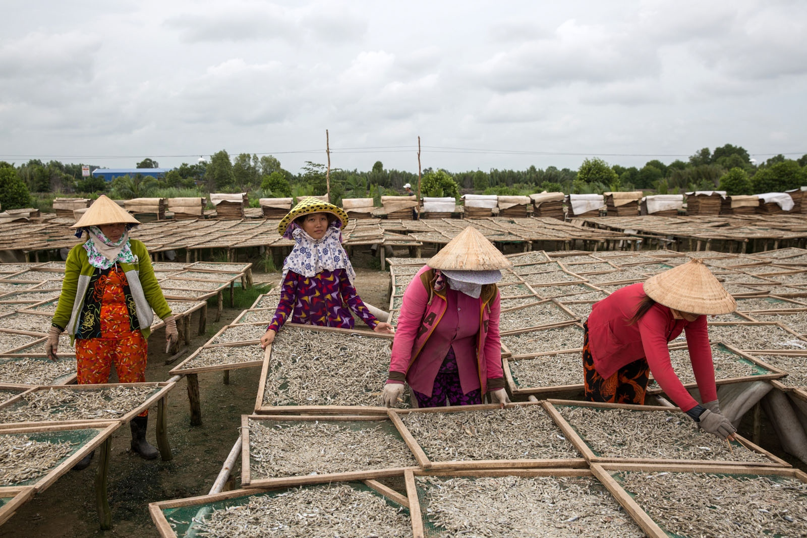 Women workers spread out fish to dry in the sun at the Vinh Nghi factory at the edge of Song Doc town. The factory dries 60 tons of fish every-day and employs 140 workers. Sandwiched between the Song Doc River and the Gulf of Thailand, this bustling town of 50,000 people relies heavily on the fishing industry. Virtually all of these dried fish prepared at this factory will be exported to China.