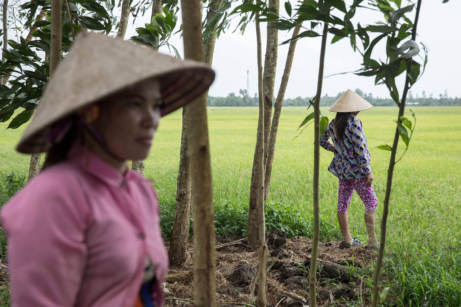 Two Vietnamese farmers observe their paddy field which is almost ready for harvest.