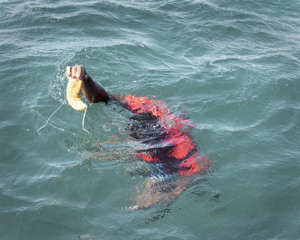 A divers retrieves a Sea Cucumber.