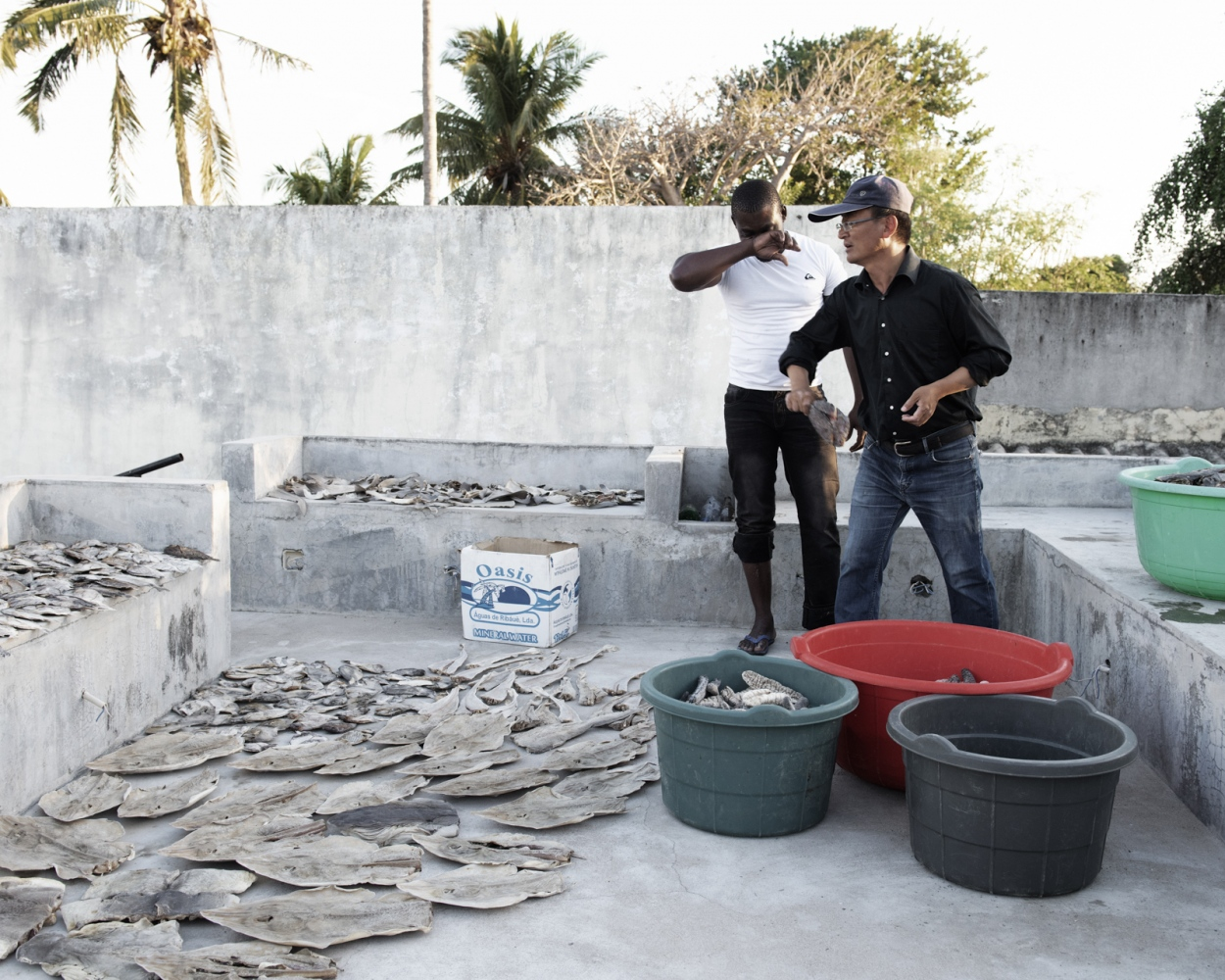 A Chinese businessman and one of his worker check the quality of the drying process of sharks, sting-rays and sea cucumbers. He claims that he hates Mozambique but until there is something to fish he will stay, then he will move to an other place where is possible to fish the species he is interested in selling.